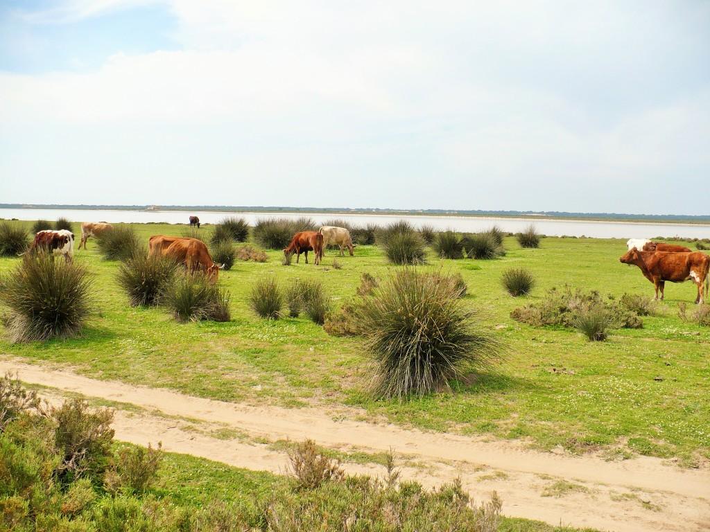 Vacas pastando en las marismas del Río Guadalquivir
